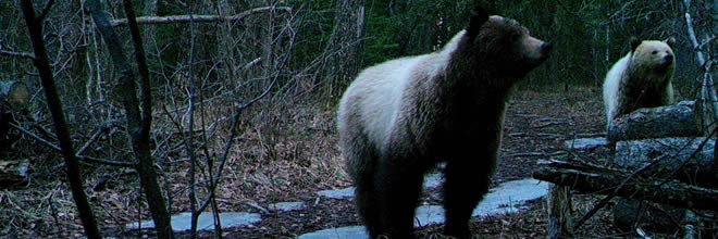 Two Curious Grizzly Bear Cubs, are you Ready to Encoounter a Bear?